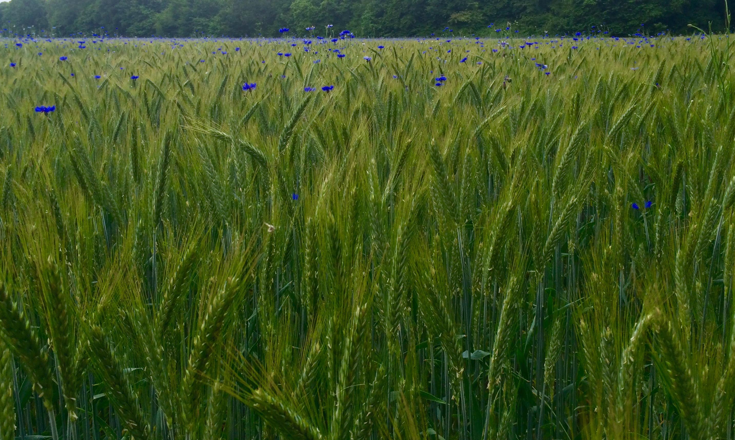 Kornblumenfelder und Maislabyrinth in der Nähe der schönsten Unterkünfte in Lippstadt und Umgebung